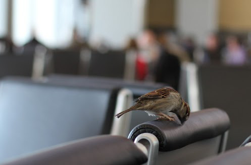 sparrow-at-the-airport